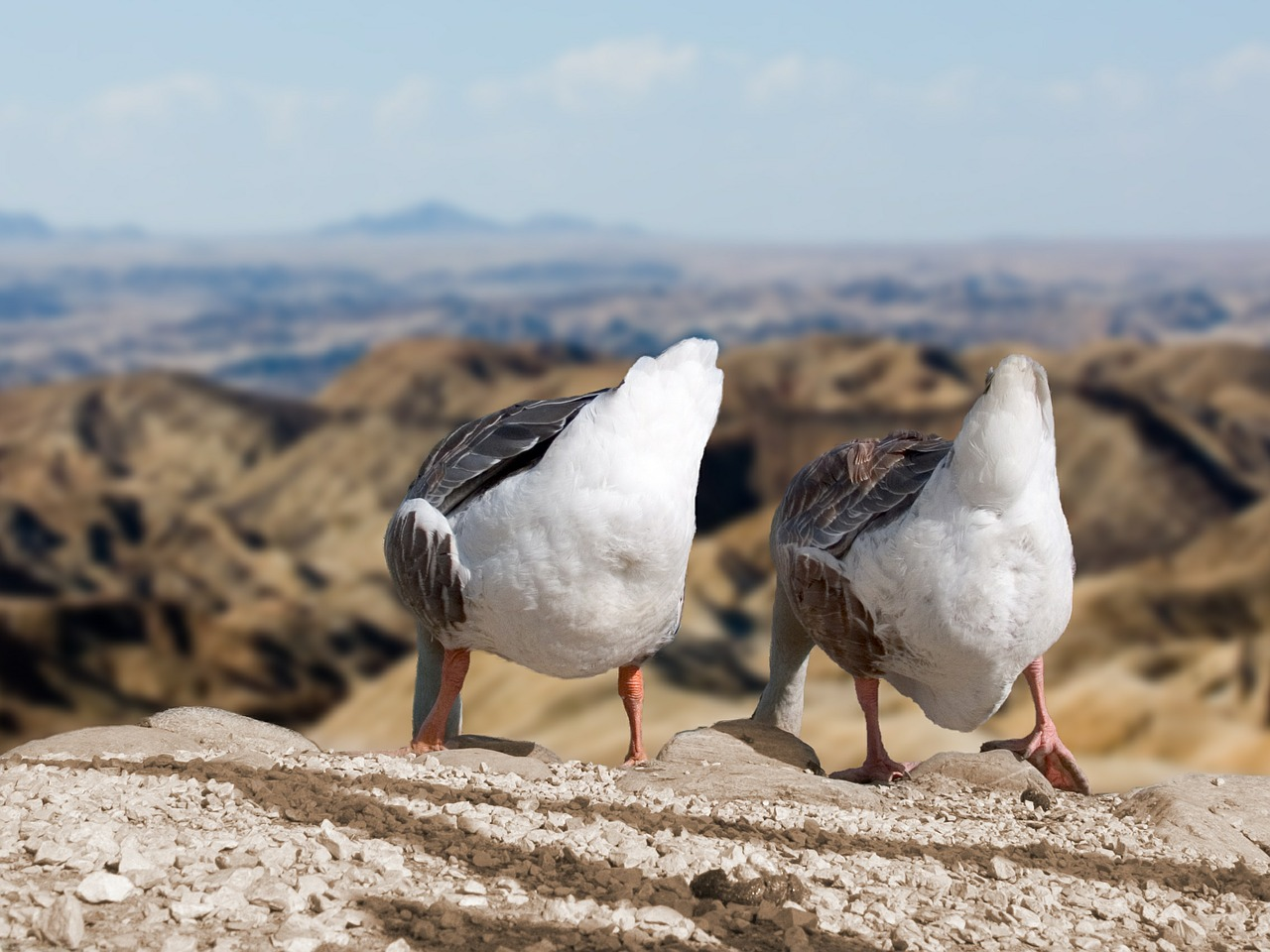 geese-540663_1280