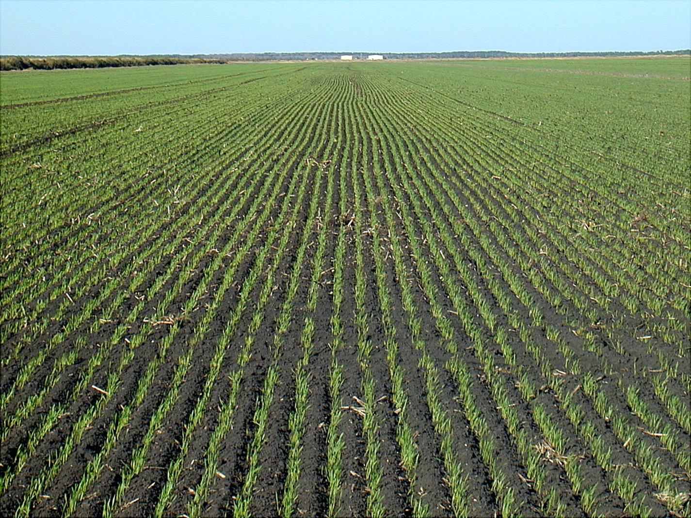 Gajenje ozime pšenice kao metod dehidratacije otpadnog mulja