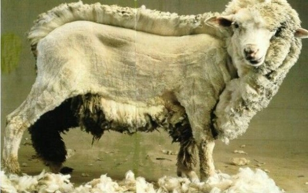 Sheep-in-process-sheering