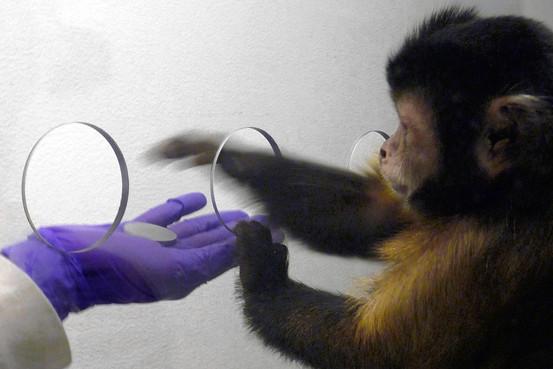 majmuni2